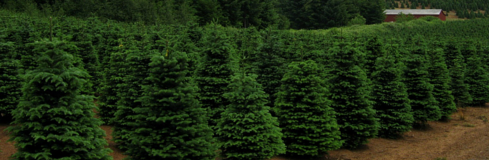 Christmas Tree Farms In & Around Austin, TX | Kids Out and About ...